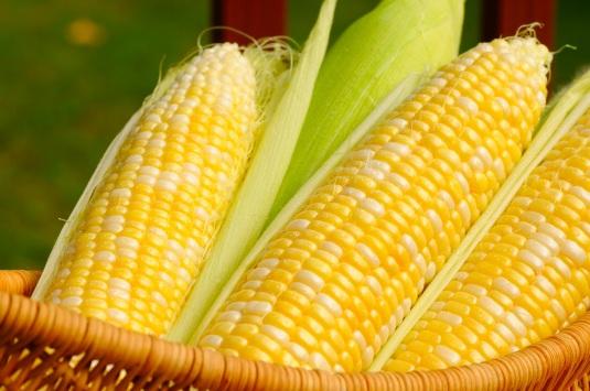 Ears of sweet corn